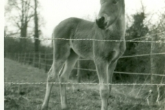 Pony in Grasses (caged in)